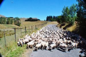 Herr Haendel's Sheep